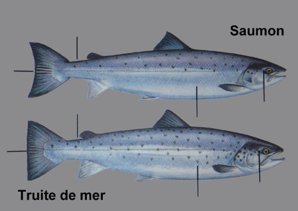 Les poissons de l 39 odoin truite truite de mer smolt et saumons - Difference entre sisal et jonc de mer ...
